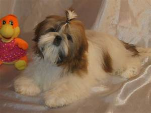Are shih tzu hard to potty train 1001doggycom for Dog potty training problems