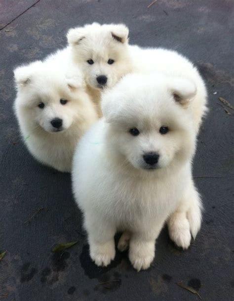 Samoyed Puppies Cute Pinterest