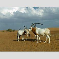 Oryx Leucoryx