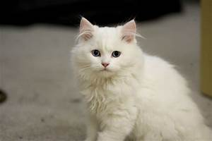 White fluffy cat with blue eyes wallpapers and images ...