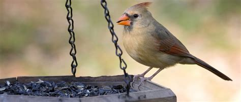 Back Yard Birds Of Western North Carolina