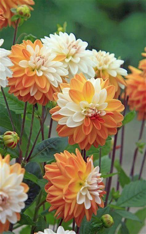 beautiful orange white dahlias pictures
