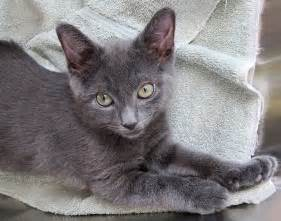 gray cats gray cat day sundays at the shelter
