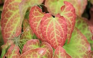 Zimmerpflanzen Alte Sorten : elfenblume epimedium pflege ~ Michelbontemps.com Haus und Dekorationen
