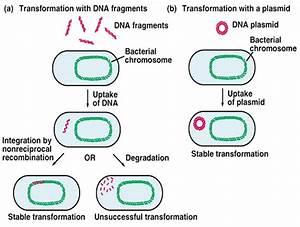 What Does Transformation Involve In Bacteria