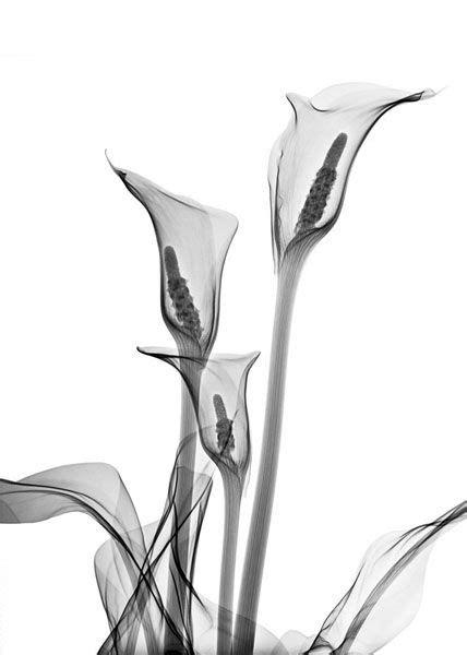Calla Lillies - Allan Gill | Xray flower, Calla lily, Flower tattoo shoulder