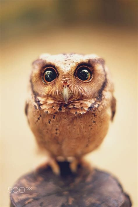 are owls pets i come from your dreams owlet by sham jolimie amazing world pinterest owl pets and