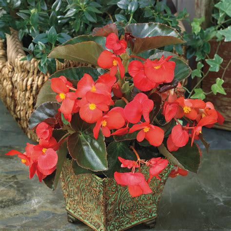 big leaf begonia pictures big red with bronze leaf begonia seeds from park seed
