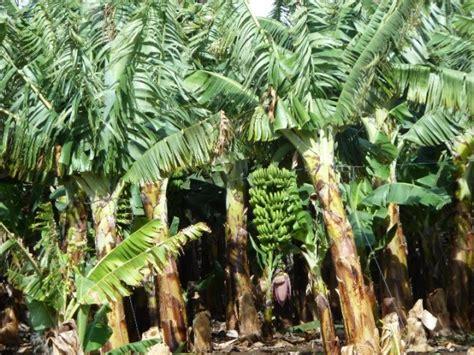 Bananenplantage | Foto | Naar Tenerife