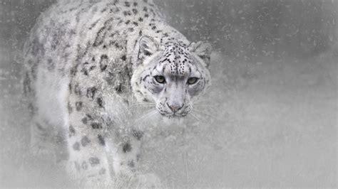 wallpaper snow leopard animals