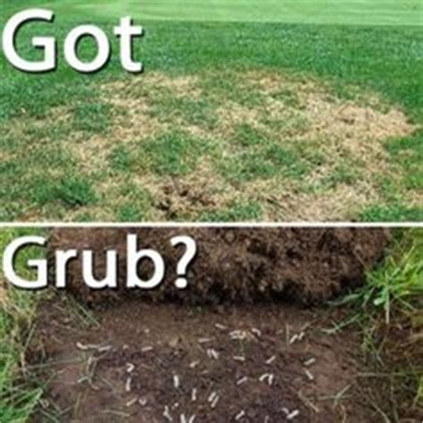 what kills grubs in your lawn how to kill grub worms with dawn soap grubs gardens and yards