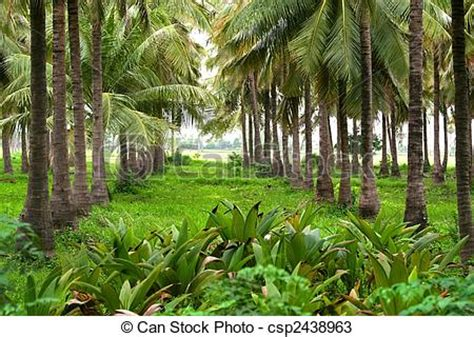 coconut farm lush green coconut plantation  south india