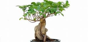 Ficus Bonsai Schneiden : ginseng bonsai ~ Indierocktalk.com Haus und Dekorationen