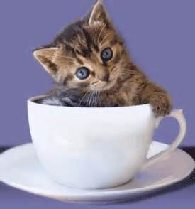 miniature cats for what is miniature cats or teacup kittens cats breeds