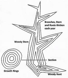 Diagram Of Secondary Growth In A Tree Showing Idealized