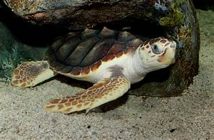 Loggerhead Sea Turtles One of the larger species of sea ...