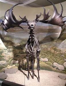 deer skeleton front view - Google Search | Ideas ...