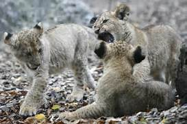 Ligers And Tigons Cubs Related Keywords   Suggestions - Ligers And      White Liger Cubs