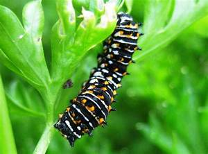 Beneficial Insect Files  Black Swallowtail Caterpillar