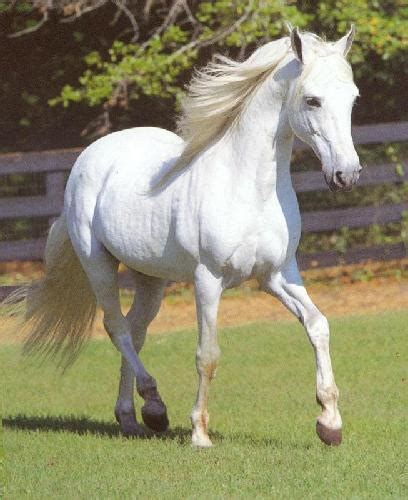 horse horses arabian mare pure pretty