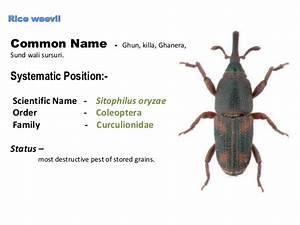 Viki Rice Weevil