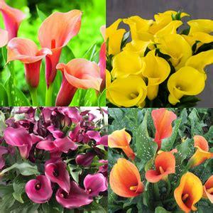 how to store calla bulbs winter calla lily winter collection 4 tubers garden express