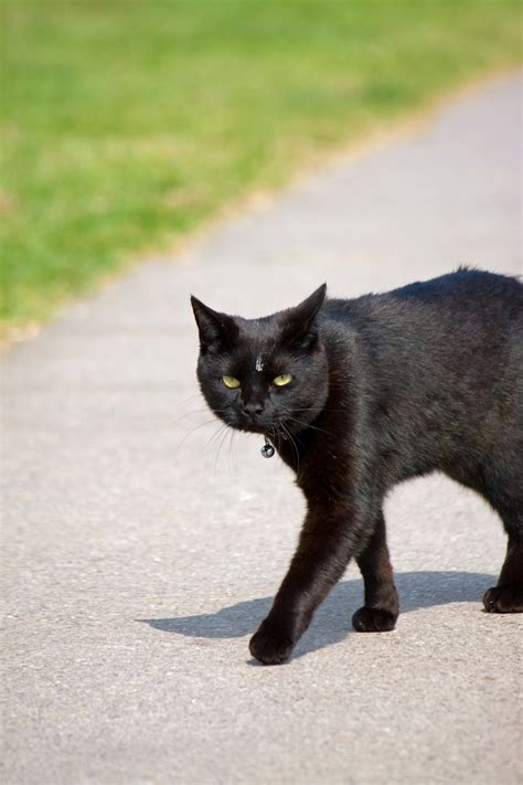 black cat  stock photo public domain pictures