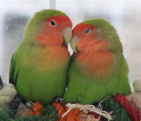 Peach-faced Love Birds