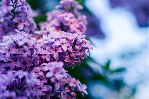 lilac flower flowers  photo  pixabay