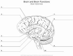 Brain Ventricles Unlabeled