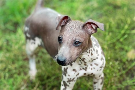 what dogs do not shed breeds that don t shed