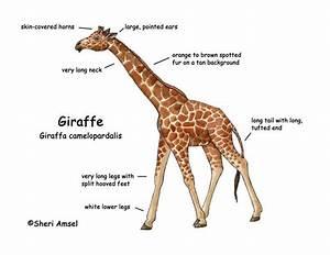 Facts About Giraffe