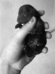 Black and White Yorkie Puppies