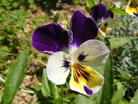 fiori le viole viole pensiero fiori da balcone invernali