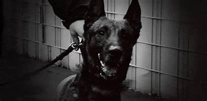 Malinois Shepherd Belgian Dog Tome Sorti Saving