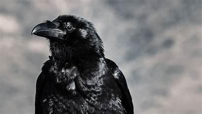 Raven Bird 4k Beak Background Uhd