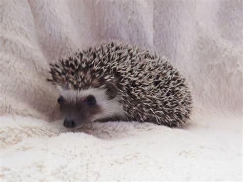 pygmy hedgehog baby african pygmy hedgehogs canvey island essex pets4homes