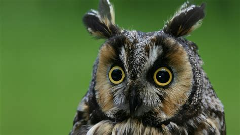wallpaper owl eagle owl funny nature plumy animals