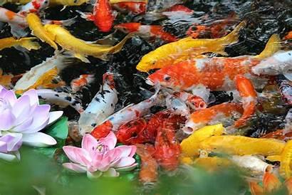 Pond Koi Fish Pump Summer Ponds Need