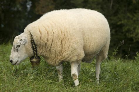 sheep ram pictures pics images