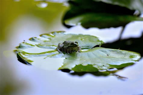 Frong on a leaf - 01 stock image. Image of summer, pond ...