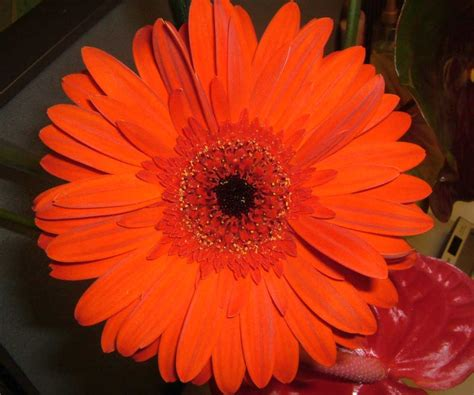 """""""The fifth most used cut flower in the world"""" – Allure Farms"""
