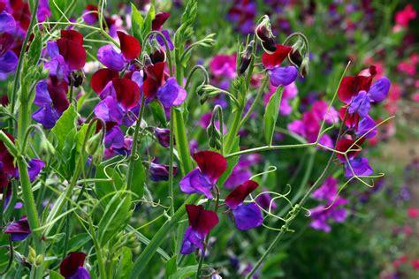 photos of sweet pea flowers file sweetpeas flowers image jpg