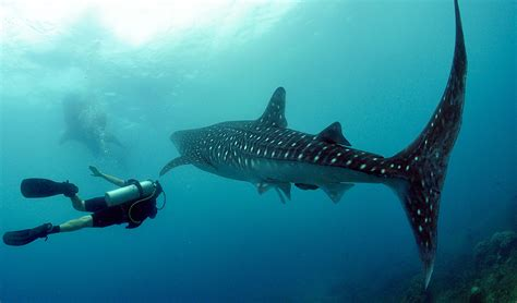 Dive With Whale Sharks Diving With Whale Sharks Australian Geographic
