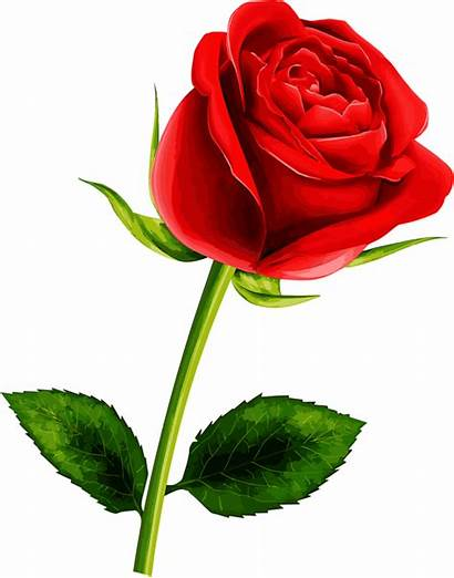 Single Bela Rosas Flowers Fera Rosa Pretty