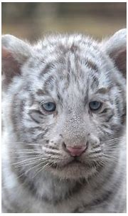tigers, Cubs, White, Glance, Animals, Wallpapers ...