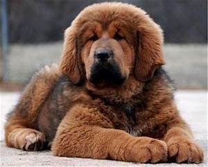 Brown Fluffy Dogs | www.pixshark.com - Images Galleries ...