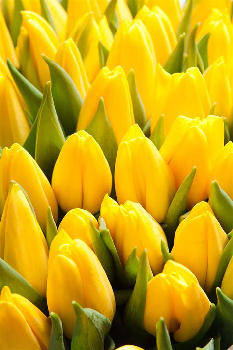 yellow tulip bunch wallpaper wall decor