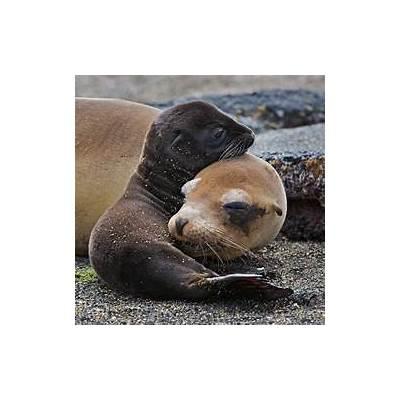 Galapagos Sea Lion Mother and PupSean Crane Photography