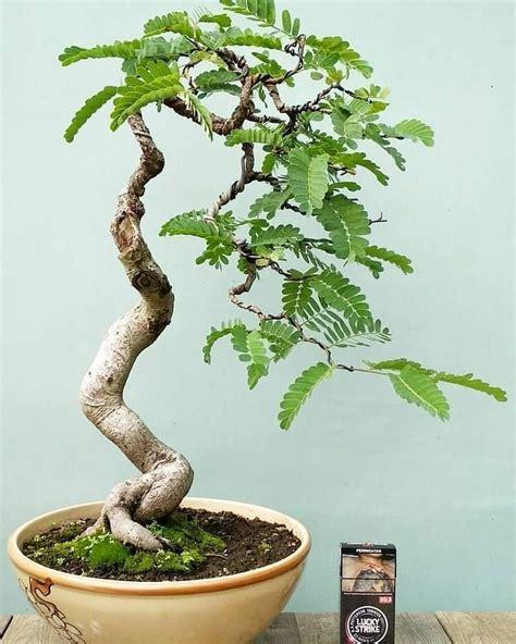 bonsai vip on Instagram: